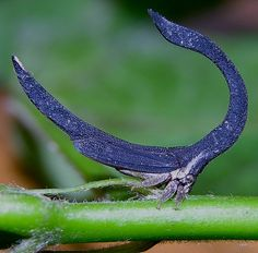 Blue Horseshoe-Shaped Treehopper - Sphongophorus ballista - Found in much of South America, this leaf-mimicking treehopper is of the family Membracidae - Image : © Arthur Anker Weird Insects, Cool Insects, Bugs And Insects, Beautiful Bugs, Amazing Nature, Beautiful Pictures, Leafhopper, Cool Bugs, A Bug's Life