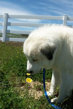 Taking a moment to stop and smell the flowers. Rescue a Great Pyrenees! Pyrenees Puppies, Great Pyrenees Puppy, Dogs And Puppies, Doggies, Big Dogs, Large Dogs, Cute Dogs, Giant Dogs, Animals And Pets