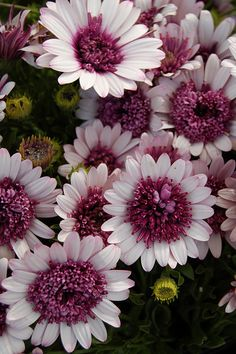 'Berry White' Mums