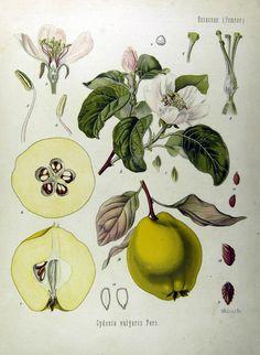 Cydonia oblonga - közönséges birs