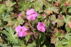 Geranium x cantabrigiense European Garden, Perennials, Boho, Plants, Pink, Gardens, Alpine Plants, Geraniums, Ground Cover Plants
