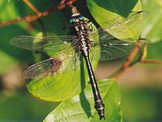 2. Gomphidae(clubtail) order Odonota - are recognized by their 'clubbed' abdomen - like aeshnids, gomphids are voracious predators of mosquitos and other small insects