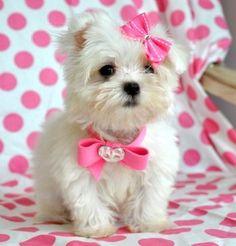 I want a tea cup maltese puppy!
