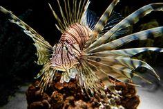 LionfishPrint, Nature Photography, Animal Photo, Aquarium, Salt Water, Aquatic,  Zoo, Fine Art Photography, 5x7, 8x10, 11x14