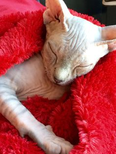 The cutest sphynx kitten ever! get some yourself some pawtastic adorable cat apparel! Sleepy Kitten, Devon Rex Cats, Mean Cat, Sphinx Cat, Pusheen Cat, Cute Cats And Kittens, Kitty Cats, Cute Animal Drawings, Cute Creatures