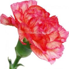 The pink carnation is an oldie but a goodie! As one of the most popular flowers ever, carnations have the reputation of being a reliable and trustworthy selection for special events and everyday decor. Pink Carnations, Pink Flowers, Most Popular Flowers, On Your Wedding Day, Best Part Of Me, All The Colors, Floral Arrangements, Wedding Flowers, Bloom