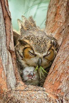Mama owl is so damn tired. She just needs a nap, but baby owl will not settle down. Mama is about to regurgitate some Benadryl and bourbon into that baby's beak.sleep now, baby owl. Beautiful Owl, Animals Beautiful, Pretty Birds, Love Birds, Tier Fotos, All Gods Creatures, Fauna, Cute Baby Animals, Baby Owls