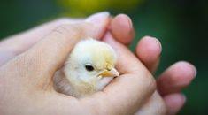 O poveste cu tâlc foarte simplă, inocentă chiar, extrem de lămuritoare despre ce înseamnă cu adevărat iubirea și posesivitatea... Când avea... Backyard Poultry, Chickens Backyard, Backyard Farming, Keeping Chickens, Raising Chickens, Duckling Care, Raising Ducks, Mercy For Animals, Baby Chickens