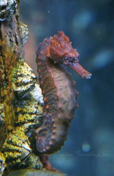 Mysterious looking Seahorse | Flickr