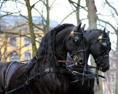 Pair of friesian horses Most Beautiful Horses, All The Pretty Horses, Animals Beautiful, Stunningly Beautiful, Horse Photos, Horse Pictures, Black Stallion, Majestic Horse, Horse Carriage