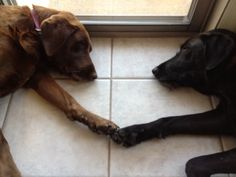 Moose and Kona chilling after an exciting day. Labrador Retriever Rescue, Foster Dog, Chilling, The Fosters, Moose, Animals, Elk, Animales, Animaux