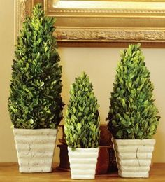 I really Really want to grow these and all other topiaries. Potted Boxwood Topiaries
