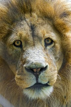 Male lion looking to me | This portrait is even better because he was looking straight at me with somewhat melancholic eyes.