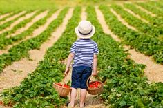 picking strawberries - Google Search Family Activities, Outdoor Activities, Farms In Nj, Love Tweets, Cheese Factory, Strawberry Picking, Artisan Cheese, Nutrient Rich Foods, Body Treatments