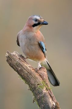Eurasian Jay - Garrulus glandarius, is a species of bird occurring over a vast region from Western Europe and north-west Africa to the Indian subcontinent and down to south-east Asia.
