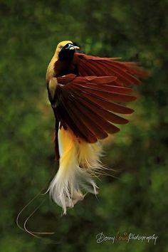 Paradisaea minor / Ave-del-paraíso Esmeralda Chica / Lesser Bird-of-paradise / Paradisier petit-émeraude / Kleiner Paradiesvogel