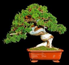 Juniperus cinensis bonsai