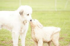 our next dog will be a great pyreneese puppy from this farm :)
