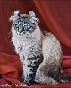 American Curl - Most Affectionate Cat Breeds