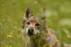 Czechoslovakian Wolfdog: flower fairy (Tirolerkogel, June 2016)