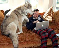 Wolamute (Alaskan Malamute-Timber Wolf Hybrid) Info, Training, Pictures