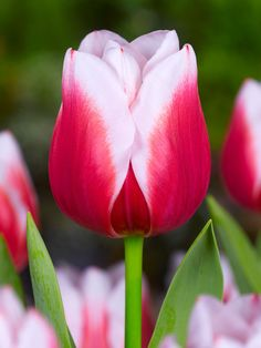 Tulip in red and white