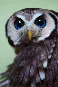 This must be edited or the owl has a cataract. Owl eye color range are yellow, brown, orange, dark/black. There are no natural blue eyed owls. Their second lid might make eyes appear grey, but not blue. Beautiful Owl, Animals Beautiful, Owl Bird, Pet Birds, Regard Animal, Owl Always Love You, Wise Owl, Tier Fotos, Birds Of Prey