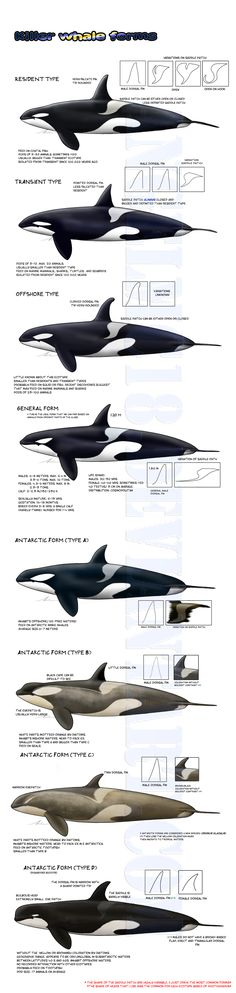 This is so interesting! I think the Antarctic orcas are probably actually a different species of orca  -Killer whale forms- UPDATED by AngelMC18.deviantart.com on @DeviantArt