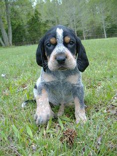 I love my Bluetick Coonhound Blue Tick Hound Puppy, Blue Tick Beagle, Hound Puppies, Beagle Puppy, Cute Puppies, Dogs And Puppies, Doggies, Spaniel Puppies, Basset Hound
