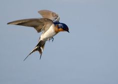 swallows flying - Google Search