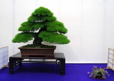 RK:文部科学大臣賞の黒松Black pine of Education, Culture, Sports, Science Minister's Prize
