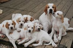 Beautiful orange and white English Pointers….the perfect redhead! http://www.turmericfordogs.com/blog