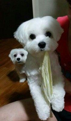 Cute maltese dogs - Molly & Milka
