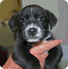 Boulder, CO - Border Collie/Labrador Retriever Mix. Meet Jemma, a puppy for adoption. http://www.adoptapet.com/pet/17487168-boulder-colorado-border-collie-mix