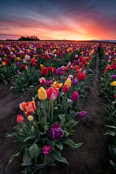 "Sunrise over a blooming tulip field in Oregon. ""Spring Boquet"" by landscape photographer Deej6 on Flickr"