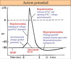 Bio Geo Nerd: Action Potentials Up Close