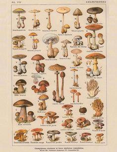 Vintage Botanical Prints, Botanical Drawings, Botanical Art, Antique Prints, Vintage Prints, Room Posters, Poster Wall, Poster Prints, Mushroom Decor