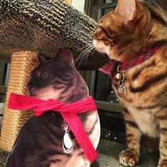 Brenna and Flat Brenna are trying their damndest not to kill one another this holiday season! #friends #family #christmas #holidays #frienemies #naughty #effort #whateverittakes #lovehate #ladybrennaoffairfax #cat #cats #carsofinstagram #catsagram #catsofworld #kitty #katzenworldblog #cats_of_instagram #catlover #bengal #bengalcat #bengalsofinstagram #bengal_cats #faithhopeloveandlucksurvivedespiteawhiskeredaccomplice #vais4bloggers #vafoodie #foodblog #foodblogger #virginia