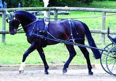 Saxony-Thuringian Heavy Warmblood stallion Golden Eye