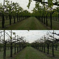#Prosecco wineyards Vs #Manzoni one At The end of April. #Belussi #Bellussera