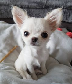 Would like to order Chihuahua t-shirts? Please check the link in my bio (profile) to order it ➡ @thechihuahualove 🐕 📷 by… Chihuahua Love, Chihuahua Puppies, Dogs And Puppies, Doggies, Cute Baby Animals, Animals And Pets, Funny Animals, Beautiful Dogs, Animals Beautiful