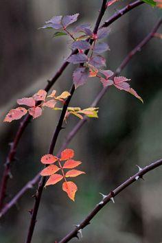 Les églantiers poussent partout : dans les prés humides comme dans la garrigue pierreuse.   L'hiver, il y...