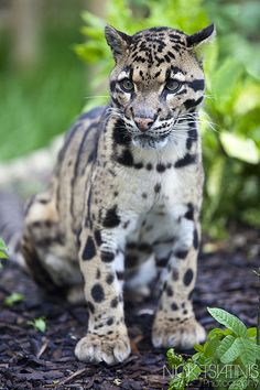 Clouded Leopard by Nick Tsiatinis on Flickr.