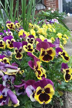 The popping hues of winter pansies are a must-have flower for fall, winter, and spring blooming. Click and read to learn all you need to know about pansies. Edible Plants, Edible Flowers, Colorful Flowers, Winter Pansies, Cut Out Shapes, Thing 1, Good Presentation, Flower Cookies, Dessert Decoration