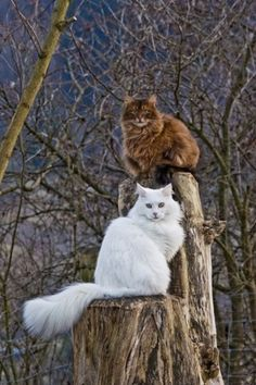 Friends in High Places ~ Two Fluffy Cats on a Tree Stump ....
