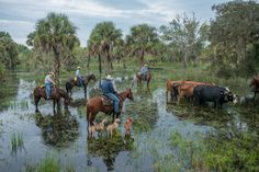 Florida Crackers, Cattle and the Watering Hole.