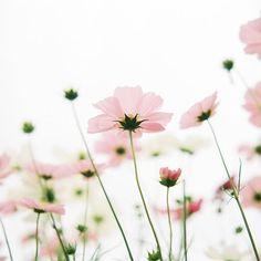 Poèsie, fleurs, cosmea, soft and airy flower photography