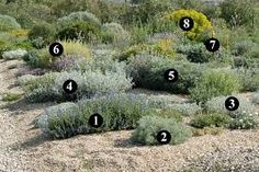 Image result for Salvia chamaedryoides