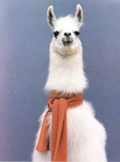 llama with a scarf 'cause he gets cold too