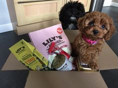 Dinner time for Cavapoo puppies